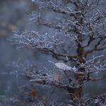 Winter ulmus