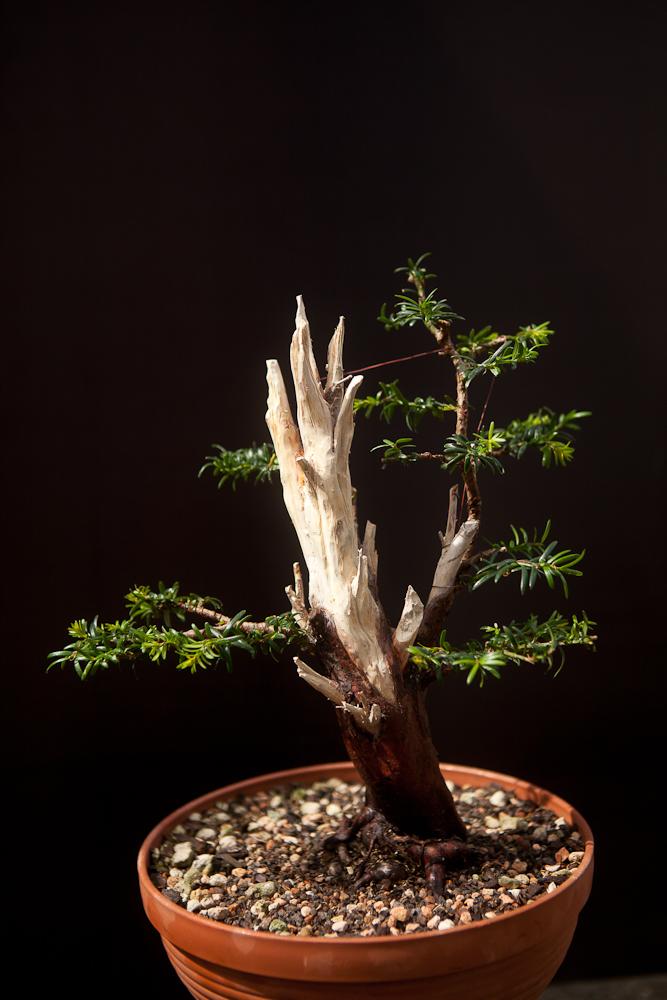 Taxus Baccata And Cuspidata Bonsai Techniek