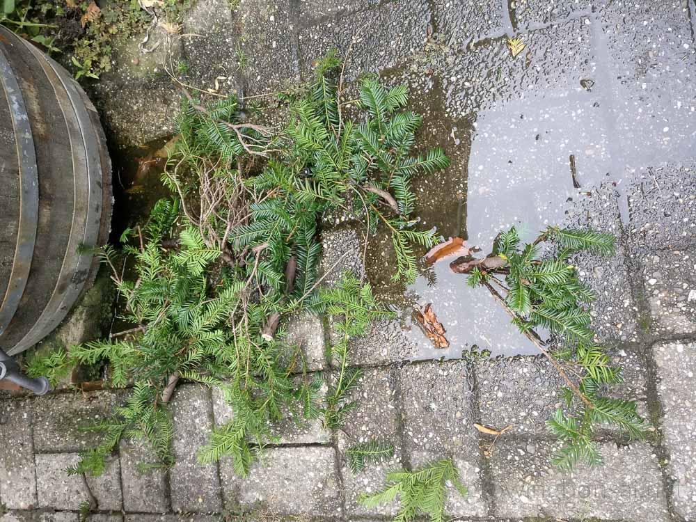 Taxus cutoffs trimming for bonsai