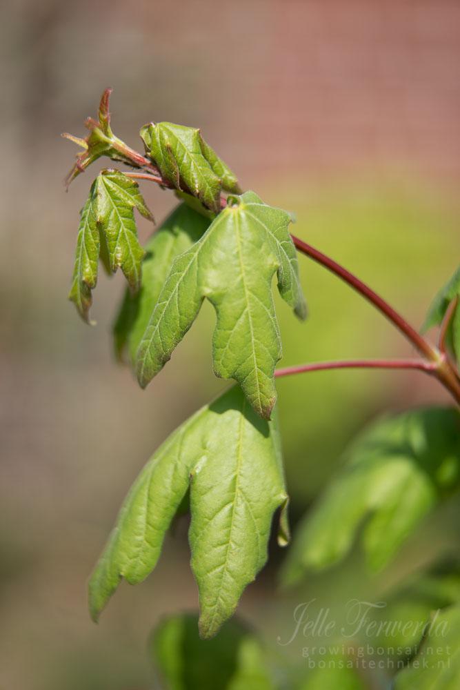 Veldesdoorn bonsai in het voorjaar
