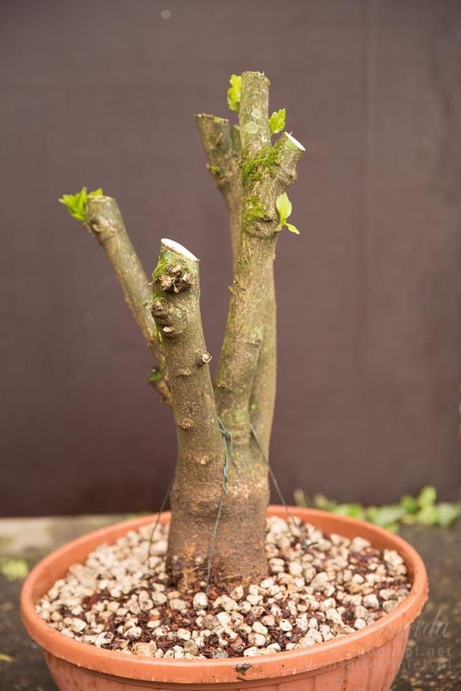 Hibiscus pre-bonsai opgepot