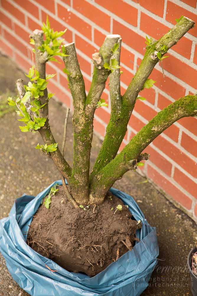 Vers uitgegraven hibiscus voor bonsai