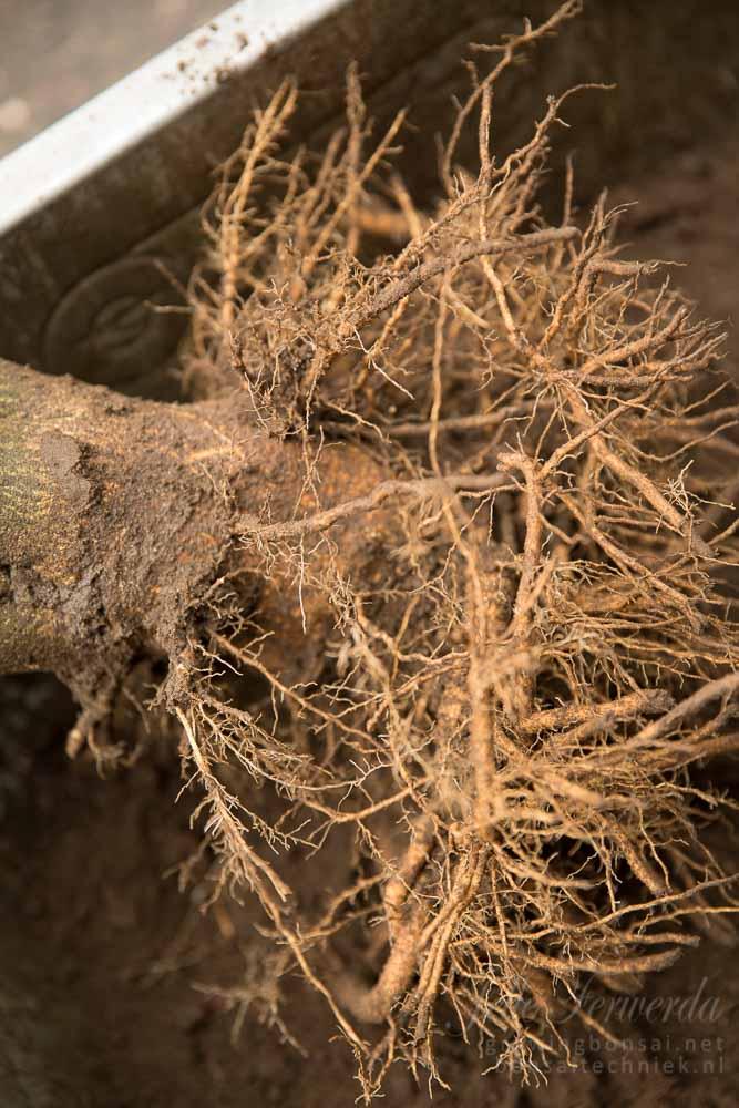Hibiscus pre-bonsai met dubbele wortelkrans
