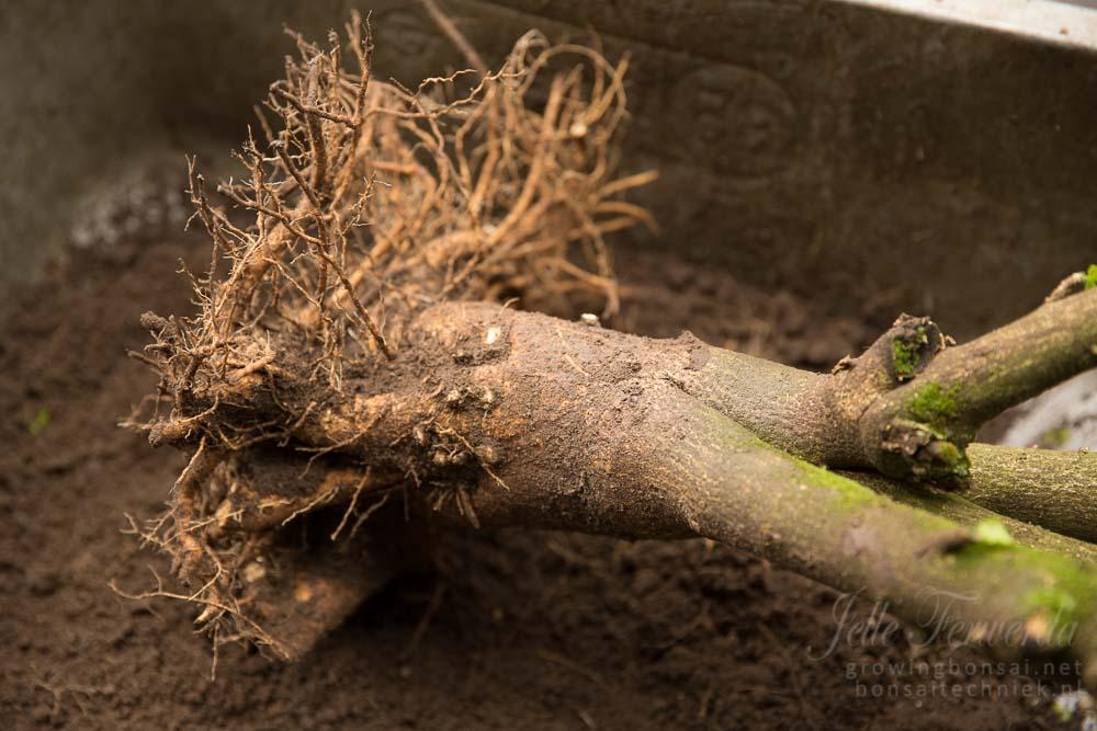 Hibiscus pre-bonsai tweede wortelkrans verwijderd