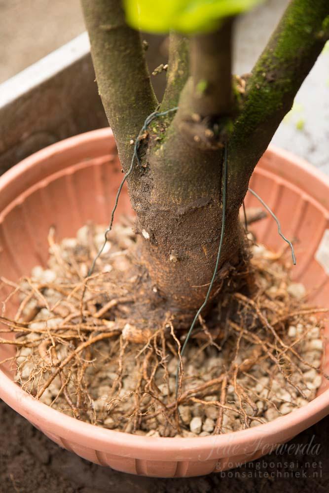 Hibiscus pre-bonsai in pot