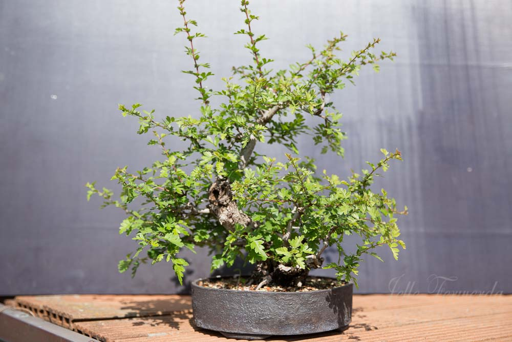 Meidoorn bonsai voor uitdunnen
