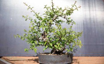 Meidoorn bonsai na uitdunnen