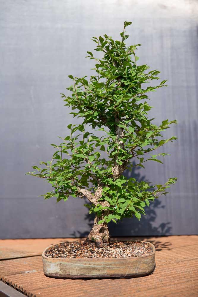Iep bonsai voor uitdunnen