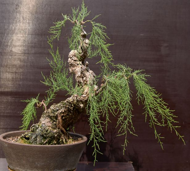 Bonsai tamarix