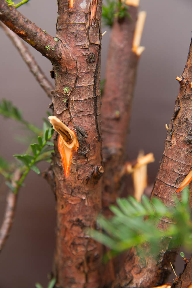 Doodhout bewerken taxus bonsai