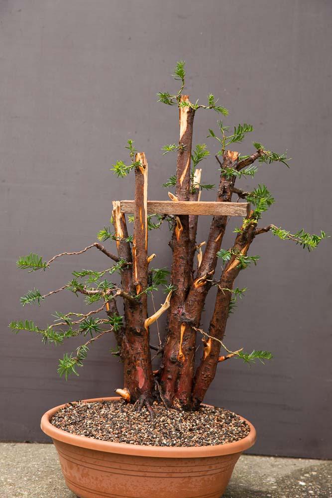 Eerste bedrading van Taxus bonsai