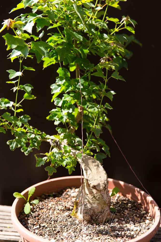 Drietandsesdoorn bonsai materiaal
