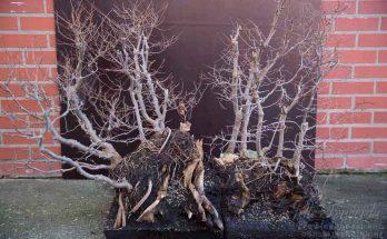 Groot zelkova bonsai bos