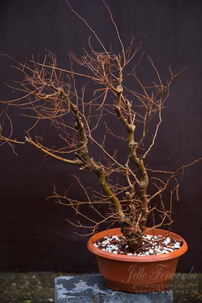 Overgroeide zelkova bonsai