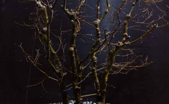 Zelkova bonsai bosbeplanting