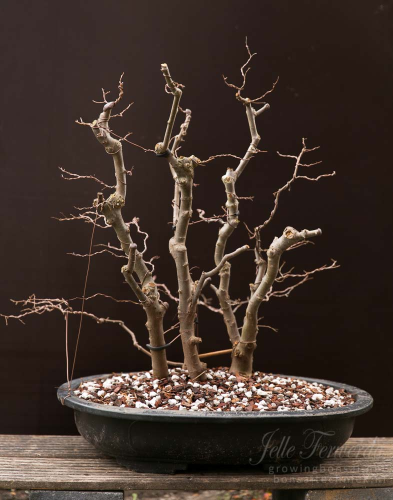 Zelkova bonsai bosbeplanting bedraad en gesnoeid