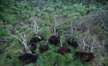 Zelkove bonsai bos opgesplitst