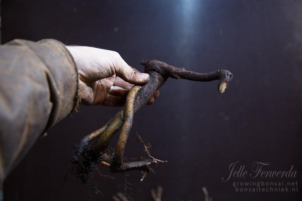 Zelkova bonsai wortel stek