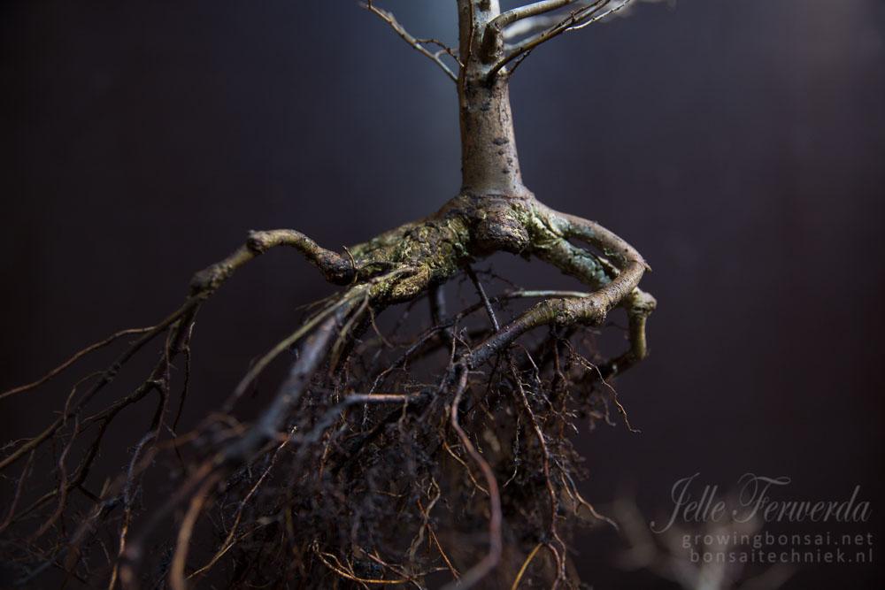 Zelkova bonsai slechte wortels