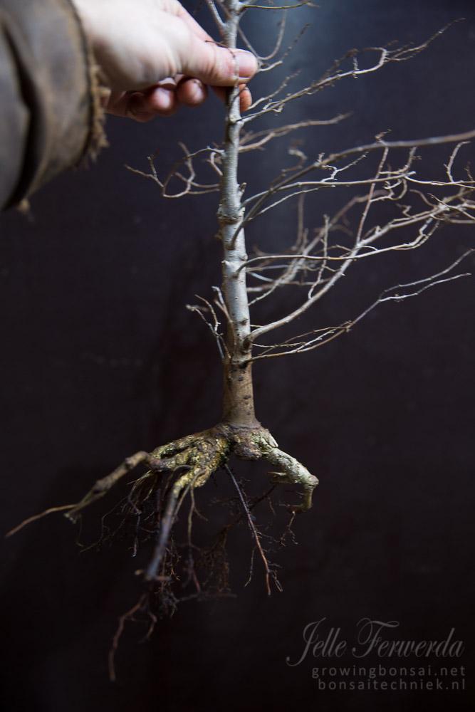 Zelkova bonsai wortels gesnoeid