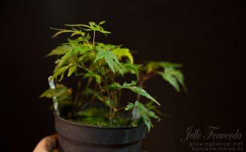 Acer palmatum arakawa stekken